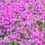 地を這う花
