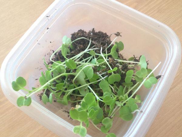 間引いた小松菜の芽