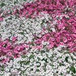 ピンクと白の花